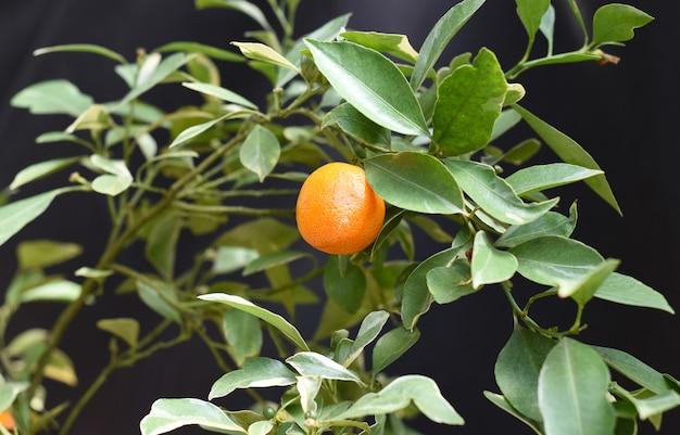 Tangerine fruitteelt op een tak tegen zwarte achtergrond