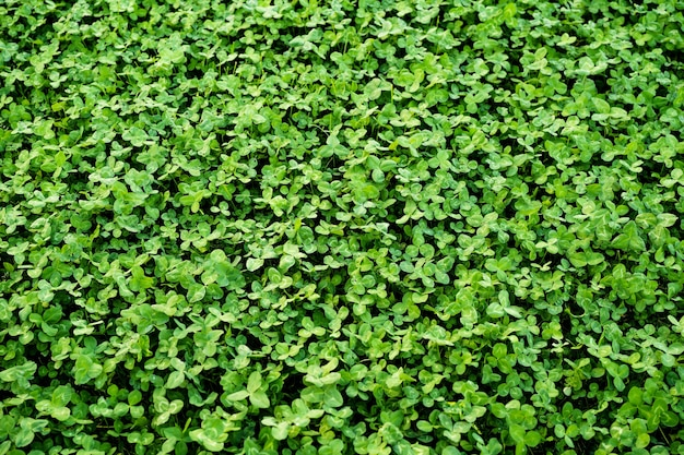 Tapijt gemaakt van groene klaver textuur. lente bos.