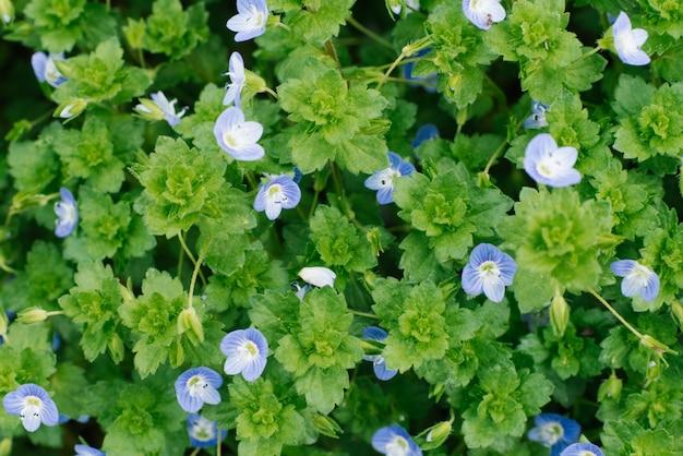 Tapijt van blauwe bloemen vergeet-mij-nietjes in de lente in het bos
