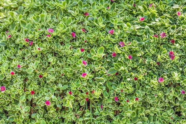 Tapijt van natuurlijke bloeiende planten, gras met kleine bladeren.