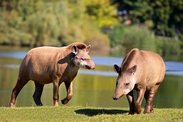 Tapirs op een open plek