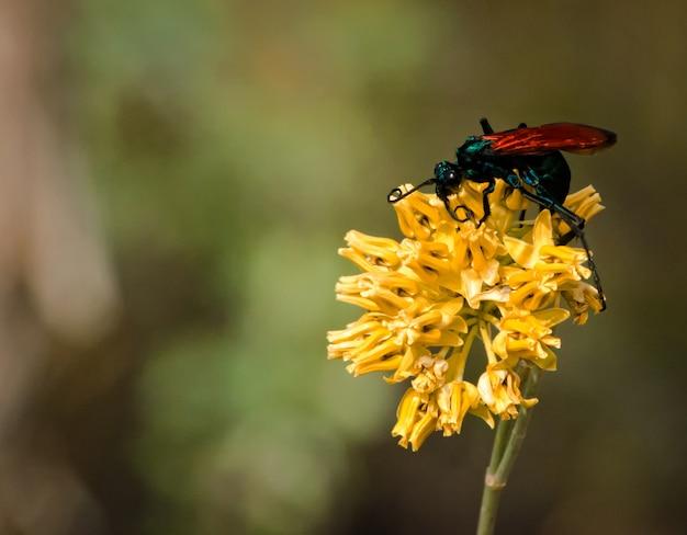 Tarantula hawk zat op een heldere gele bloem