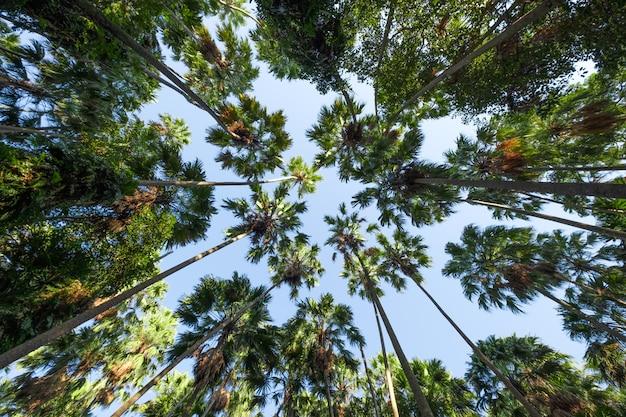 Taraw palmbomen met de hemelachtergrond