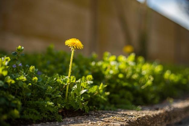 Taraxacum bloem omgeven door groen gras in de lente