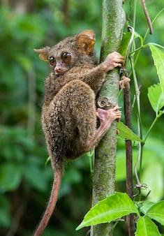 Tarsius zit op een boom in de jungle. detailopname. indonesië. sulawesi-eiland.