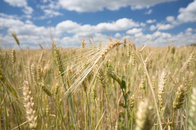 Tarwe en gerst worden verbouwd op een landbouwgebied met een close-up van rijpende oren van granen voor gebruik als levensmiddel of kuilvoer