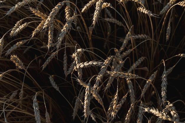 Tarwe gouden veld van rijpe tarwe. bovenaanzicht, plat gelegd.