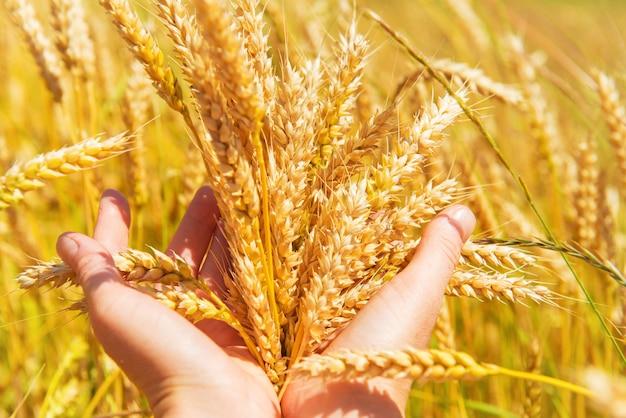 Tarwe in de handen. oogsttijd, agrarische achtergrond