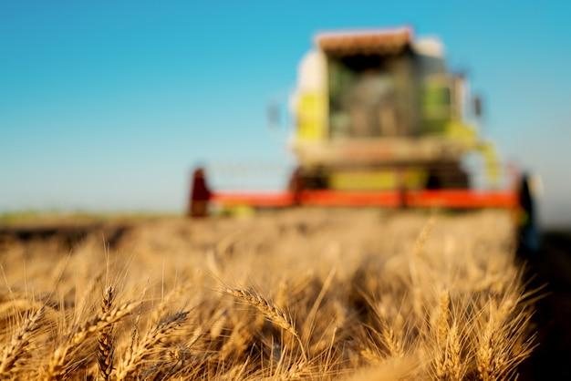 Tarwe in focus met harvester op achtergrond.