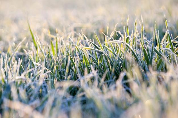 Tarwe tijdens vorst kleine spruiten van tarwe, gefotografeerd na vorst bij dageraad, een kleine scherptediepte