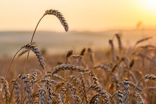 Tarwe veld. de oren van gouden tarwe sluiten omhoog.