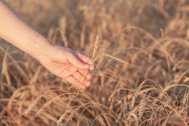 Tarwe veld. handen met oren van gouden tarwe close-up. prachtige natuur zonsondergang landschap. landelijk landschap onder stralend zonlicht. achtergrond van rijpende oren van tarweveld. rijke oogstconcept