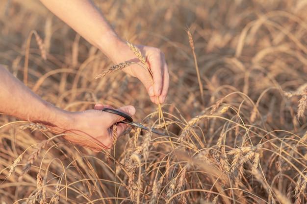 Tarwe veld. handen met oren van gouden tarwe close-up. rijpe oren van tarwe worden afgesneden. landelijk landschap onder stralend zonlicht. achtergrond van rijpende oren van tarweveld. rijke oogstconcept