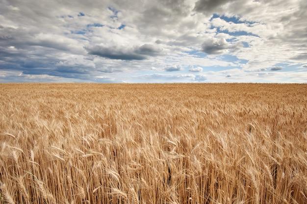 Tarwe veld. oren van gouden tarwe close-up. achtergrond van rijpende oren van het gebied van de weitarwe