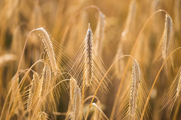 Tarwe veld. oren van gouden tarwe close-up