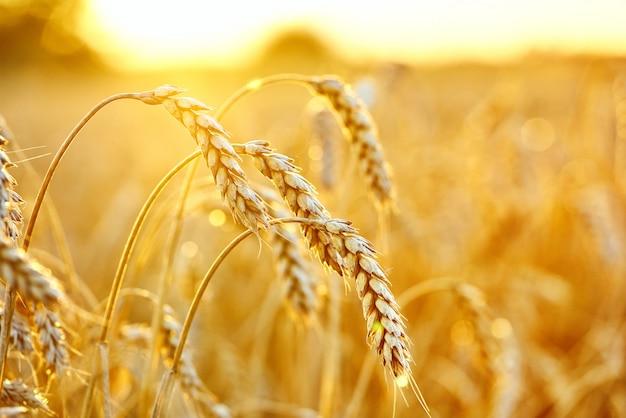 Tarwe veld. oren van gouden tarwe. mooi zonsonderganglandschap.