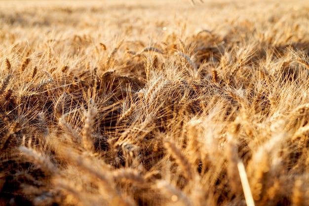 Tarwe veld. oren van gouden tarwe. prachtige zonsondergang landschap
