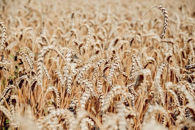 Tarwe veld. oren van gouden tarwe. rijke oogst.