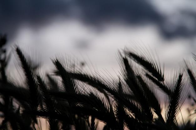 Tarwe veld silhouet
