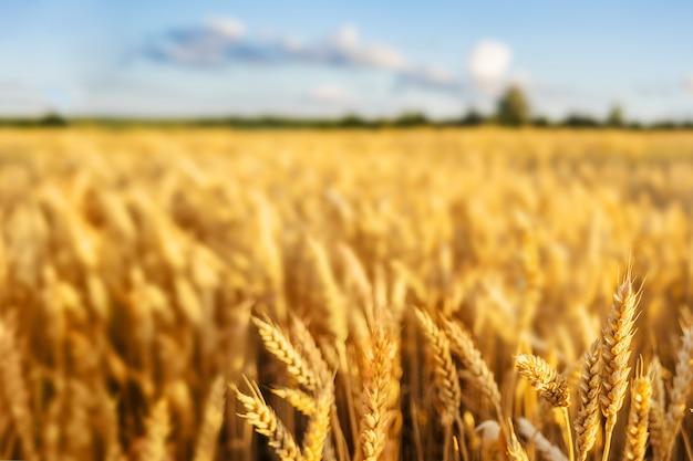 Tarwe veldoren gouden tarwe. rijke oogstconcept.