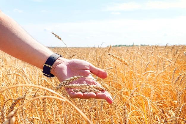 Tarwekorrels in de handen van een boer op de achtergrond van het tarweveld. rijp oor in de hand van een man. graan oogsten. agrarisch thema.