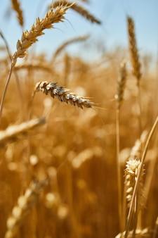 Tarweoogst, tarweveld op de achtergrond van blauwe lucht in de zon dag, zomer
