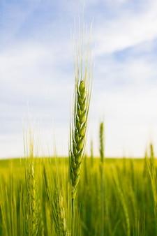 Tarwespica op een achtergrond van een groen veld en een blauwe lucht