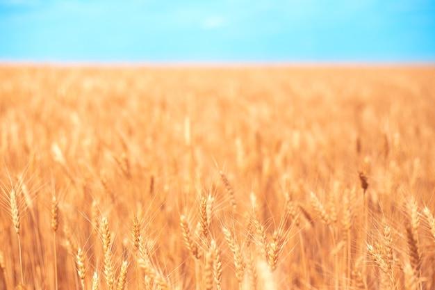 Tarweveld en blauwe lucht aan de horizon. brood oogsten. natuurlijke zomer achtergrond.