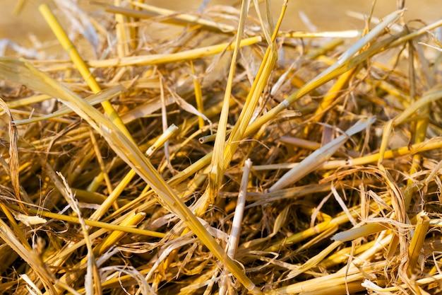 Tarweveld na oogst landbouwveld, waar op aarde na de oogst op het tarwestro bleef staan