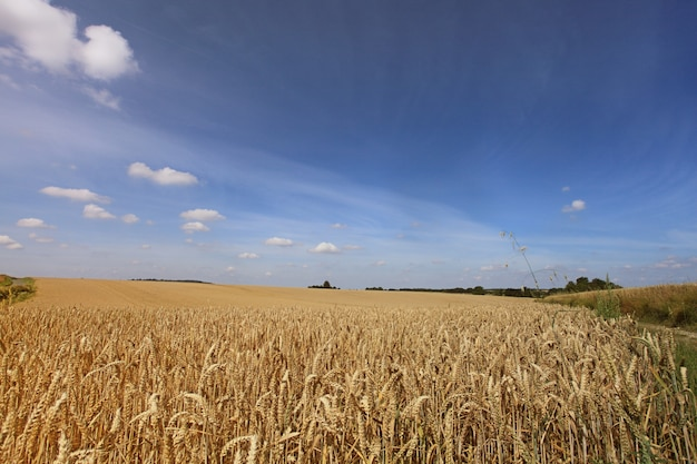 Tarwevelden onder de zon in de zomer vóór oogst