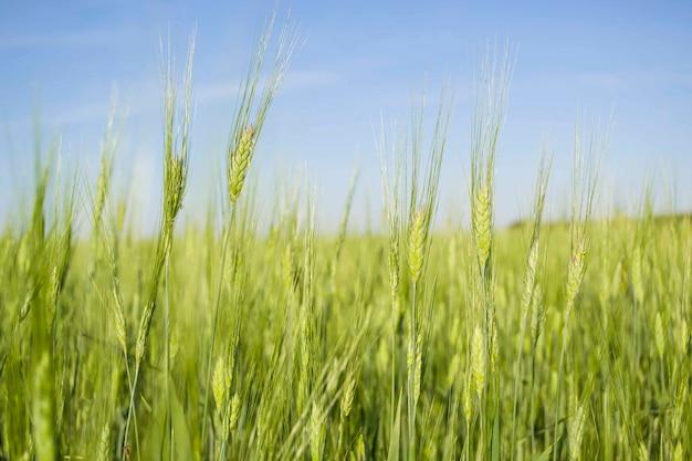 Tarwevelden van het plattelandsleven van kazachstan