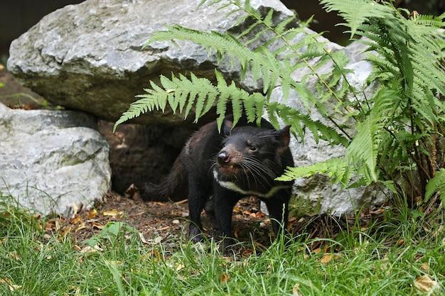 Tasmaanse duivel. sarcophilus harrisii
