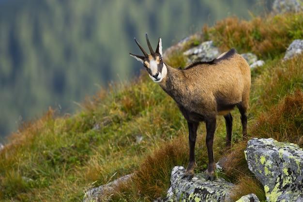 Tatra-gemzen die zich in steile helling van helling in de zomer bevinden.