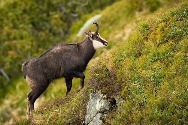 Tatra gemzen klimmen steile helling in de bergen in de zomer natuur