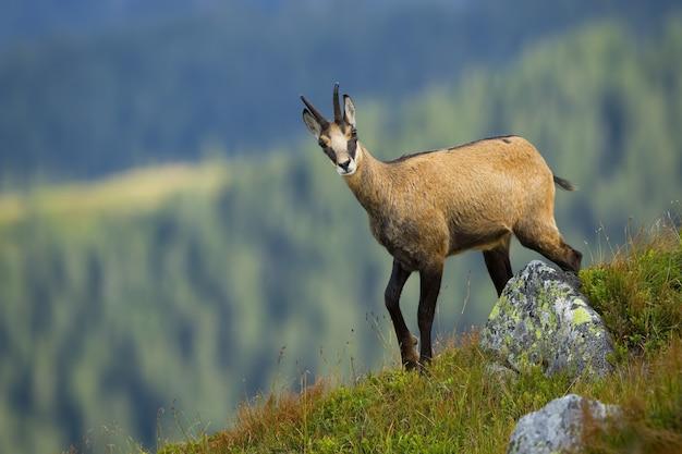 Tatra gemzen lopen op de top van de heuvel