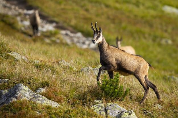 Tatra gemzen lopen op een heuvel met rotsen en droog gras in de bergen