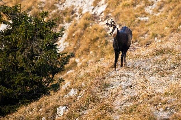 Tatra gemzen staan en kijken naar beneden vanaf de alpine helling