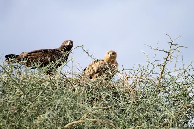 Tawny adelaars close-up. serengeti nationaal park, tanzania, afrika. afrikaanse dieren in het wild