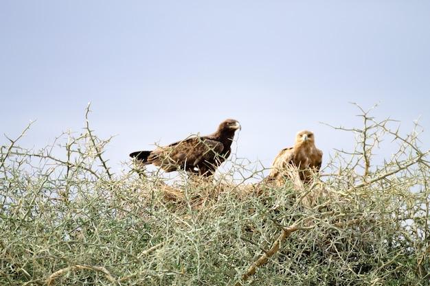Tawny eagles sluiten omhoog. serengeti nationaal park