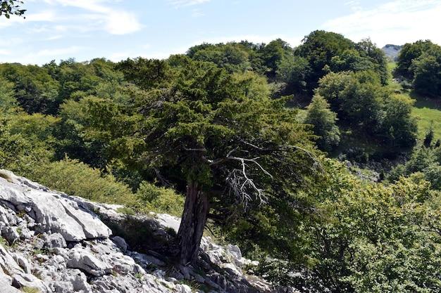 Taxus (taxus baccata) in het karstmassief van itxina. natuurpark gorbea. baskenland. spanje