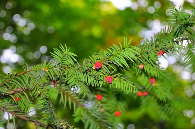 Taxusboom met rode vruchten