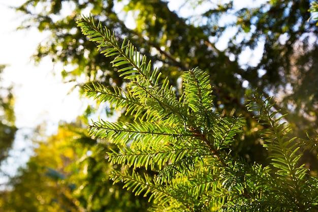 Taxusboom. taxus baccata. het is de boom die oorspronkelijk bekend stond als taxus, maar nu andere verwante bomen bekend worden, staat hij nu misschien bekend als engelse taxus of europese taxus. Premium Foto