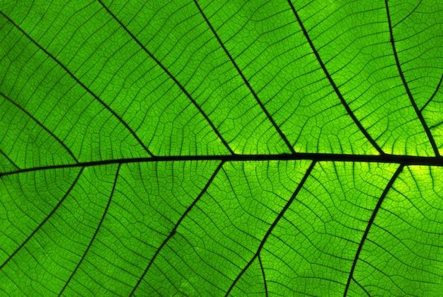 Teak bladeren textuur