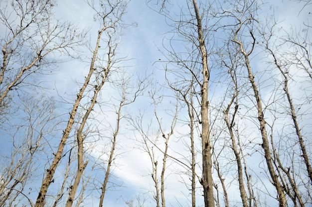 Teakboom vervelt in het droge seizoen in indonesië