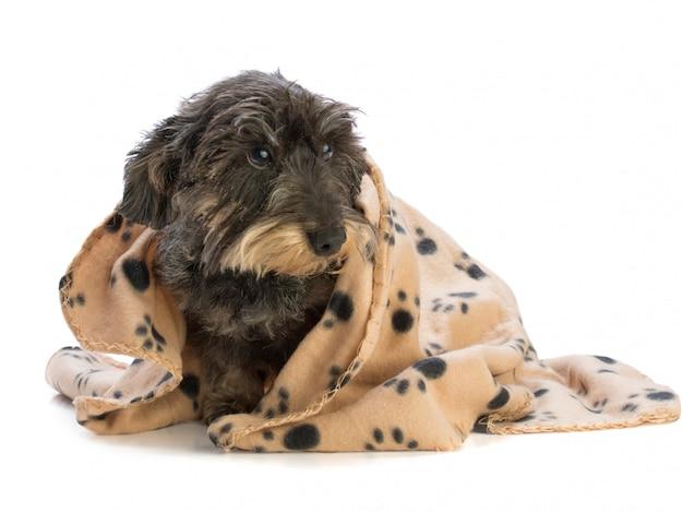 Teckel geïsoleerd met deken