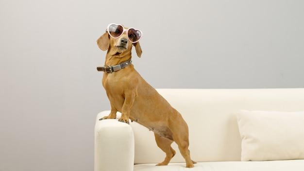 Teckel hond in een roze zonnebril op de bank grappig huisdier thuis
