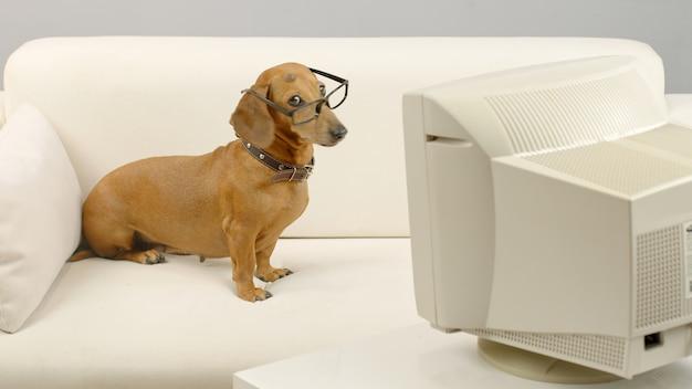 Teckel hond in glazen zittend op de bank voor oude computer huisdier kijken naar het scherm van pc