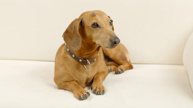 Teckel hond ligt op de bank lovely pet thuis
