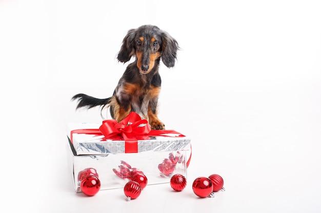 Teckel hond op wit met een cadeau en kerstboom speelgoed