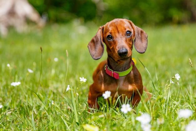 Teckel pup zittend in het gras